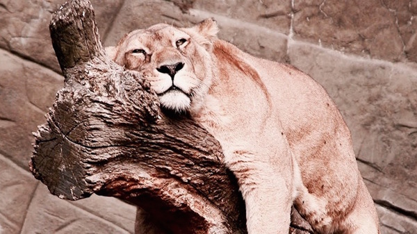 Med thumb lion hanging 1024