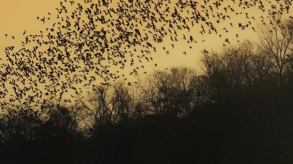 Med thumb swarm of bats