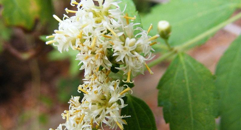 Calea Ternifolia as Oneirogen