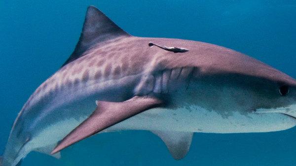 Med thumb shark