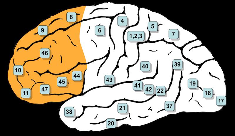 Prefrontal Cortex_Wikimedia