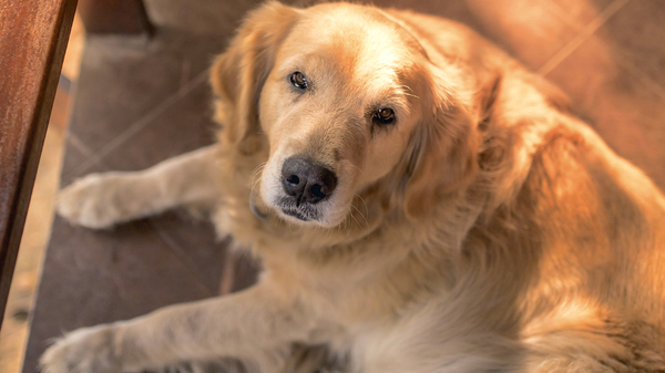 Med thumb golden retriever cropped