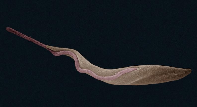 tsetsebacteria_inset