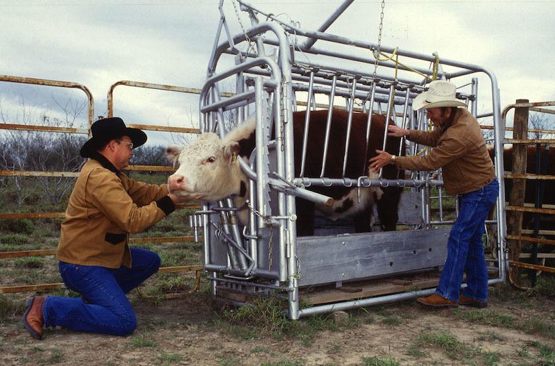 cattle hug