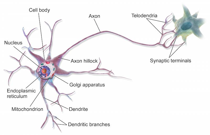 neuron dia