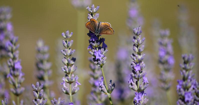 Lavender_Aromatherapyinset