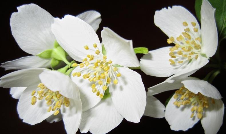 Jasmine_aromatherapy