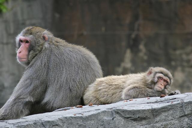 sleepy baboons
