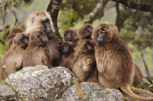 sleepy baboons 2