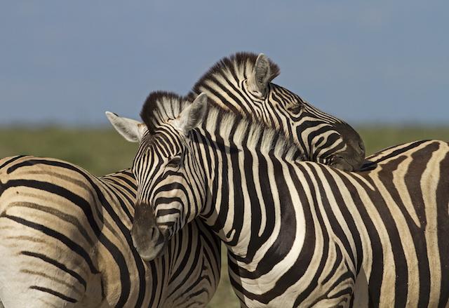 zebras tired