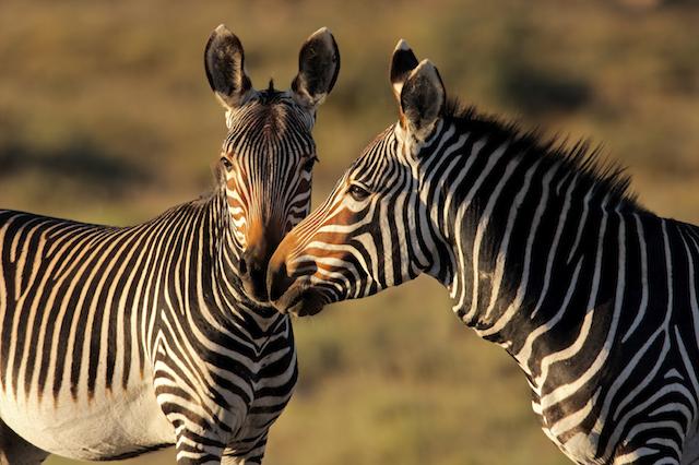 zebra sleep 2