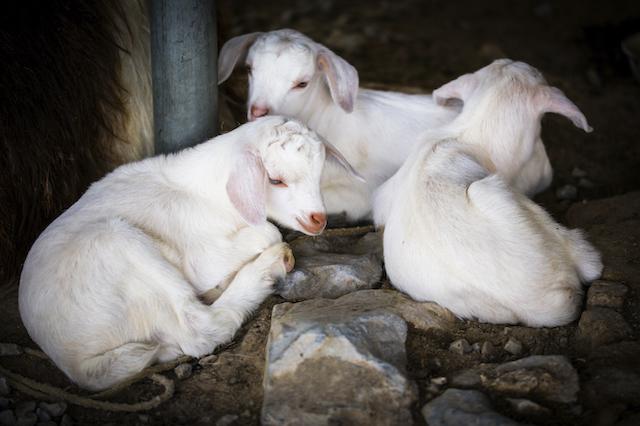 goats sleep