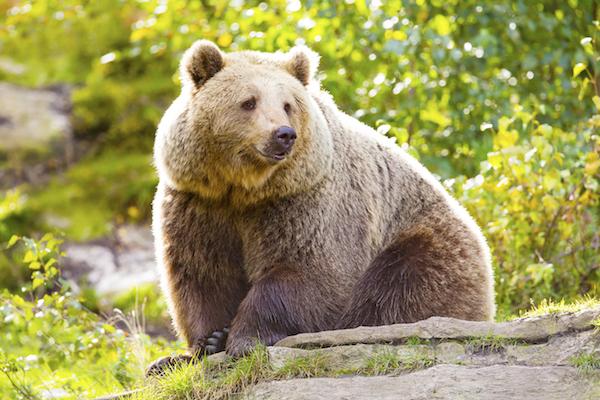 Grizzlybear_hibernation