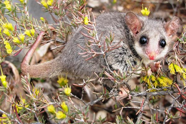 PygmyPossum_Hibernation