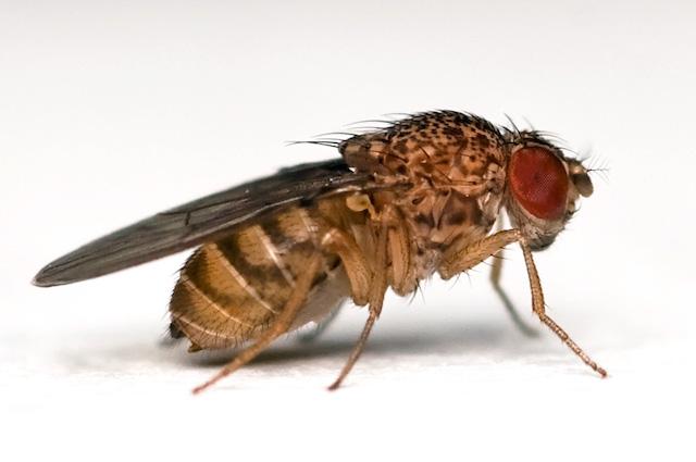 Sleeping animals fruit fly