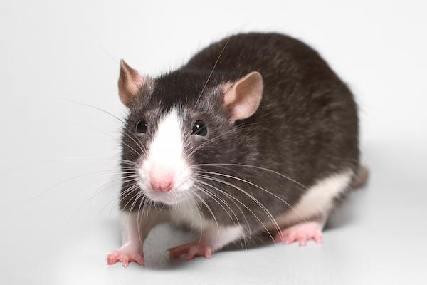 Rat_AnimalSleepHabits