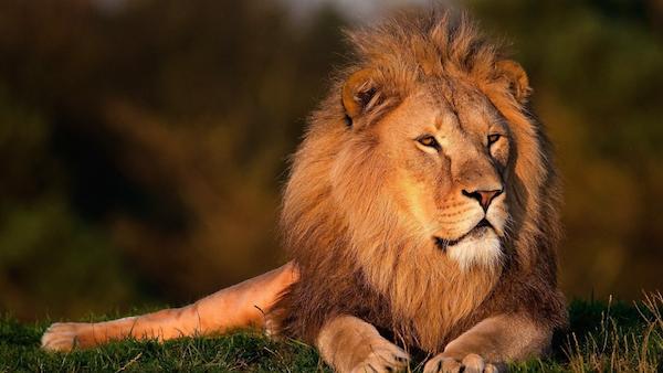 Lion_AnimalSleepHabits