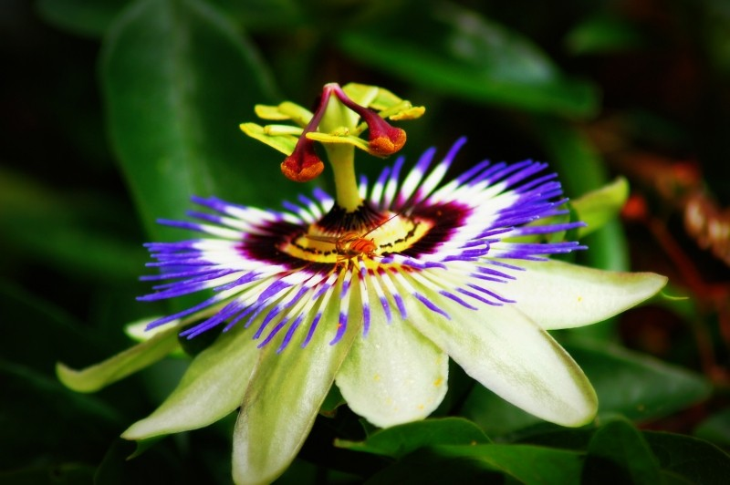 PassionFlower_Insomina remedies
