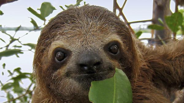 Med thumb sloth main