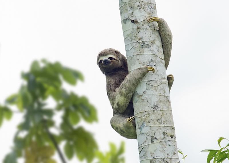 Sloth_inset