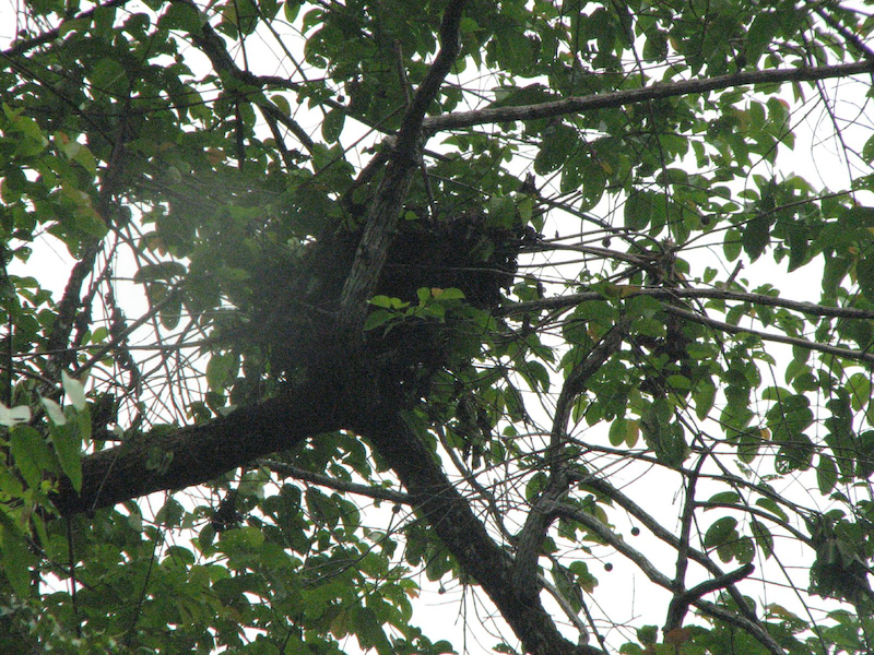 OrangutanNest