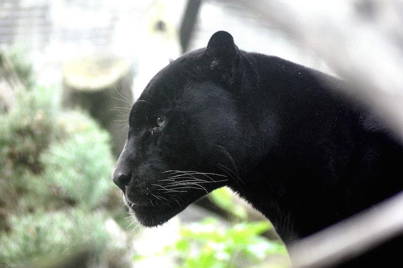 Panther_Achuar