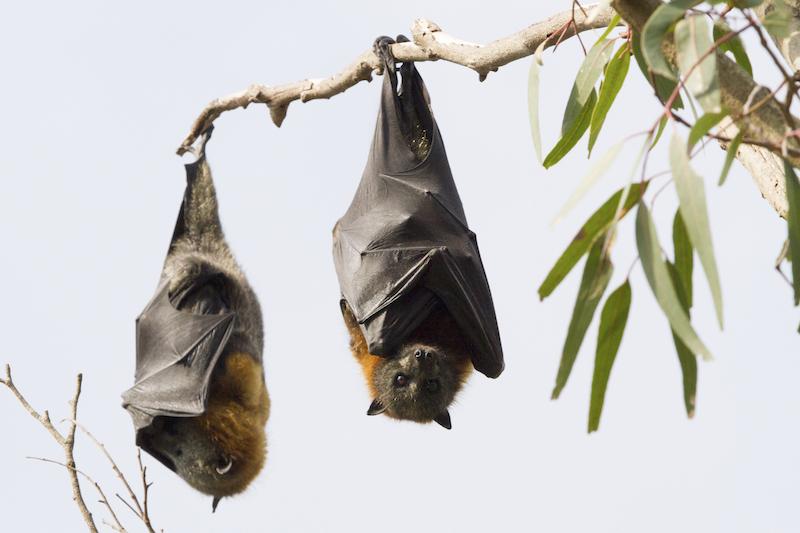 HangingBats_HangingSleep